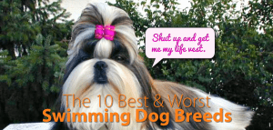 shih tzu with pink top knot