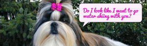 "Shih Tzu asking ""Do I look like I want to go water skiing with you?"""