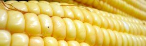 a full yellow ear of corn