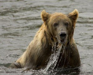 brown bear fishing in a stream