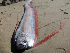 giant oarfish washed up on beach