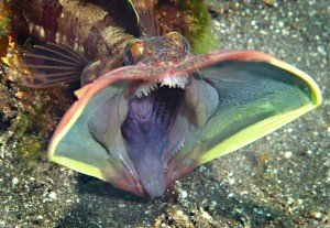brightly colored fish called sarcastic fringehead