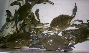 a cooler full of blue crabs